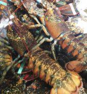 生猛龙虾 只 1.3-1.6磅
