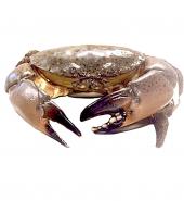 佛罗里达石头蟹 未处理重量0.8-1.2磅