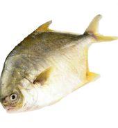 金鲳鱼 未处理重量 1.7-2磅