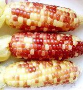 彩色粘玉米 5根